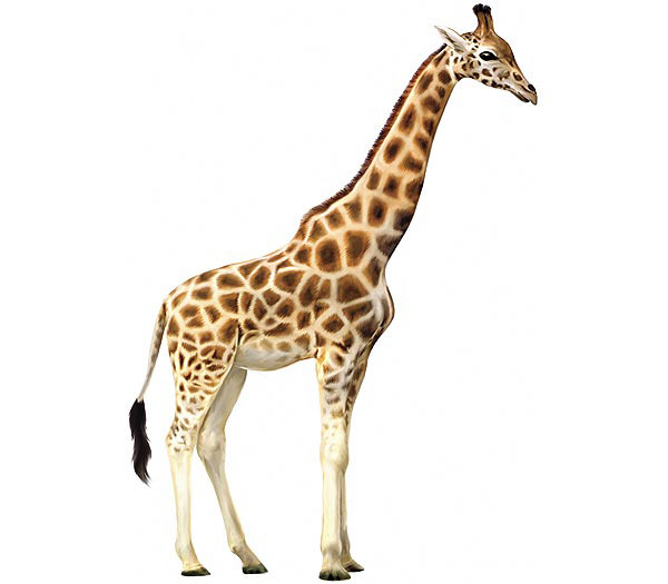 กระแสยีราฟเต็มเฟสบุ๊คด้วยเกมส์ The Great Giraffe Challenge